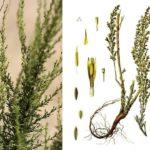 Полынь цитварная (Artemisia cina)