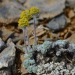 Полынь сенявинская (Artemisia senjavinensis)