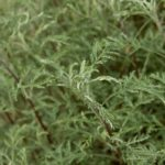 Полынь Гмелина, или жертвенная (Artemisia gmelinii)