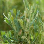 Полынь тризубая (Artemisia tridentata)