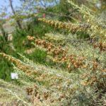 Полынь калифорнийская (Artemisia californica)