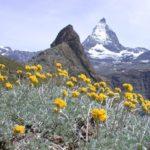Полынь ледниковая (Artemisia gracialis)