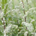 Стебли цветущей полыни