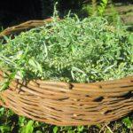 Урожай полыни в корзине