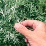 Полынь горькая (Artemísia absínthium)