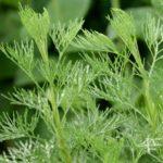 Полынь лечебная, или высокая (Artemisia abrotanum)