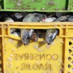 пойманная сардина в таре