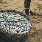 улов сардины в корзине