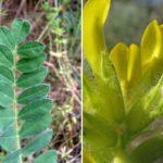 листья и цветы астрагала донского (Astragálus tanaíticus)