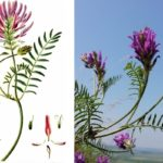 Астрагал эспарцетовый (Astragalus onobrychis)