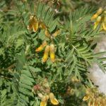 Астрагал повислоцветковый (Astragálus penduliflórus)