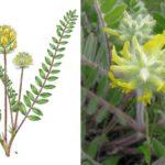 Астрагал шерстистоцветковый, или шерстистый (Astragálus dasyánthus)