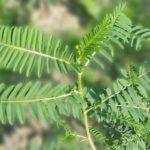 Астрагал перепончатый (Astragalus membranaceus)
