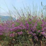 Астрагал крымский (Astragalus tauricus)