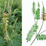Астрагал серповидный (Astragalus falcatus)