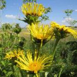 девясил высокий цветет в поле