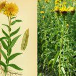 Девясил иволистный (Inula salicina)