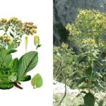 Растопыренный или блошиный (Inula conyzae)