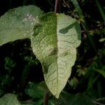 Девясил растопыренный листья