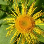 цветок, бутон и листья девясила