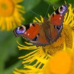 бабочка на цветке девясила