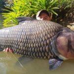 Пойманный сиамский или гигантский усач улов