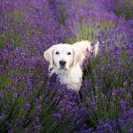 собака в лавандовом поле