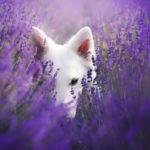 белый пес в лаванде