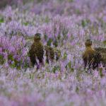 птицы в лавандовом поле