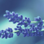 лавандовые соцветия
