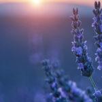 соцветия лаванды на закате