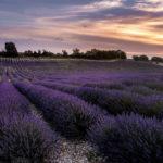 вечернее лавандовое поле