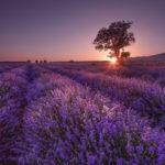 лаванда поле на закате
