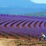 велосепидист на лавандовом поле