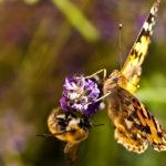 бабочка и шмель на цветах лаванды
