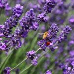 пчела и божья коровка на цветущей лаванде