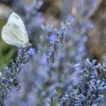бабочка на цветущей лаванде