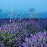 синее поле лаванды