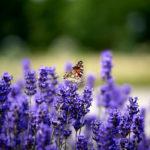 бабочка на поле цветущей лаванды
