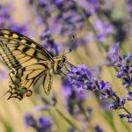 бабочка на цветах лаванды