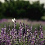 бабочка в лавандовом поле