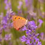 цветущая лаванда