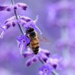 пчела на цветке лаванды