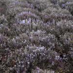 кусты отцветшей лаванды