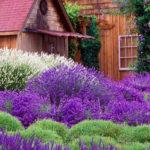 лаванда в домашнем саду