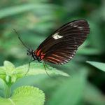 бабочка на листьях мяты