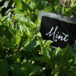 мята в саду и огороде