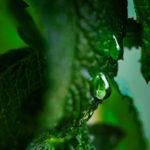 дождинки на листьях мяты