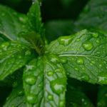 листья мяты с каплями дождя