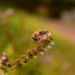 оса на соцветии мяты